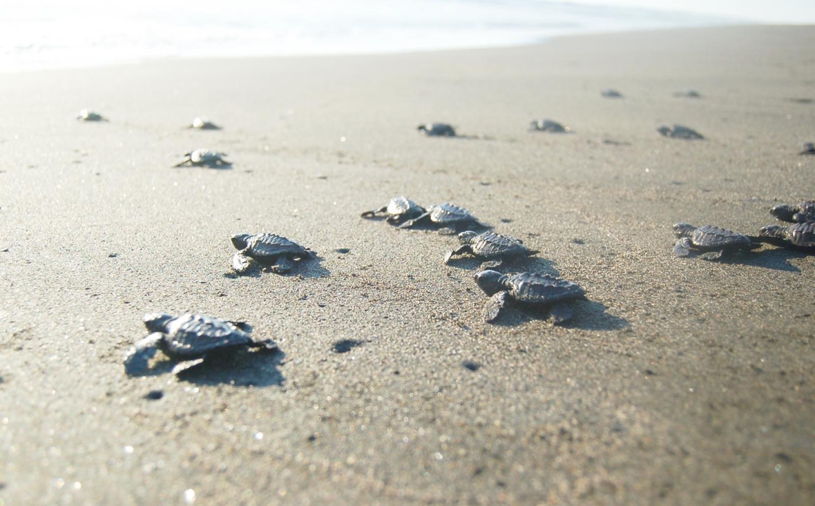 メキシコの環境保護ボランティアが保護したウミガメが海に還る